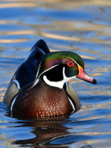 Wood Duck 2013-12-30 #45a