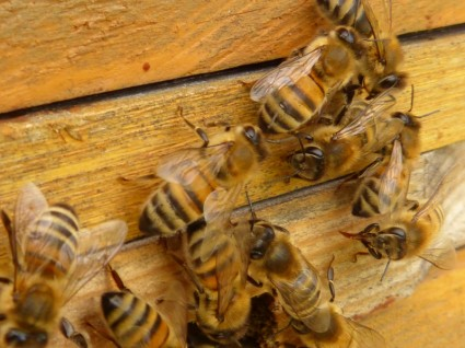Help the Honey Bees! Habitat Project Starts in May!